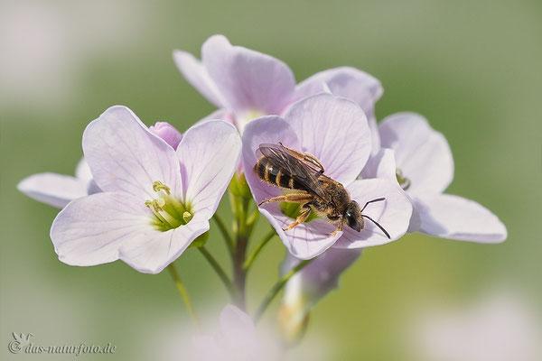 Wiesen-Schaumkraut (Cardamine pratensis)  mit Schmalbiene (unbestimmt) Lasioglossum indet. - Bild 003 - Foto: Regine Schulz - Olympus OM-D E-M5 Mark II - M.ZUIKO DIGITAL ED 40‑150mm 1:2.8 PRO