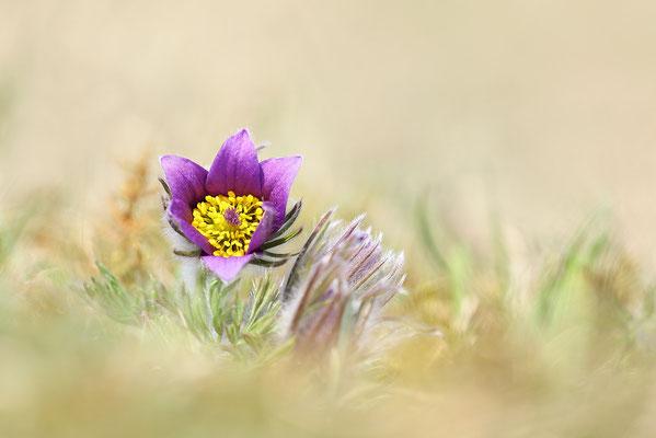 Gewöhnliche Kuhschelle (Pulsatilla vulgaris) Bild 018 Foto: Regine Schadach