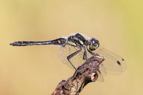 Schwarze Heidelibelle (Sympetrum danae) - Bild 001 - Foto: Regine Schadach