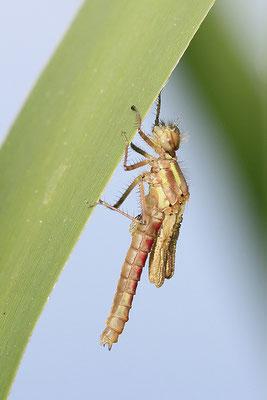 Frühe Adonislibelle (Pyrrhosoma nymphula) - Imago frisch Bild 005 Foto: Regine Schulz