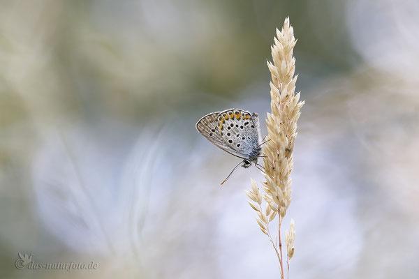 Silberfleckbläulinge (Artenkomplex) Bild 001 Foto: Regine Schadach - Canon EOS 5D Mark III Sigma 150mm f/2.8 Macro