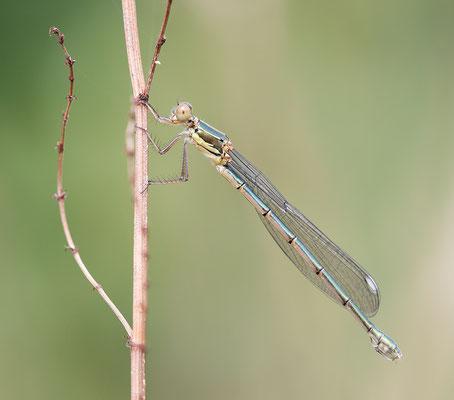 Weidenjungfer (Chalcolestes viridis) - Weibchen Bild 001 Foto: Regine Schadach