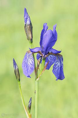 Sibirische Schwertlilie (Iris sibirica) - Bild 009 - Foto: Regine Schulz Olympus OM-D E-M1 Mark II - M.ZUIKO DIGITAL ED 40‑150mm 1:2.8 PRO
