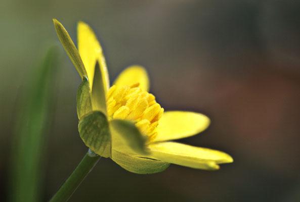 Gewöhnliches Scharbockskraut (Ranunculus ficaria subsp. bulbilifera) - Bild 001 - Foto: Regine Schulz