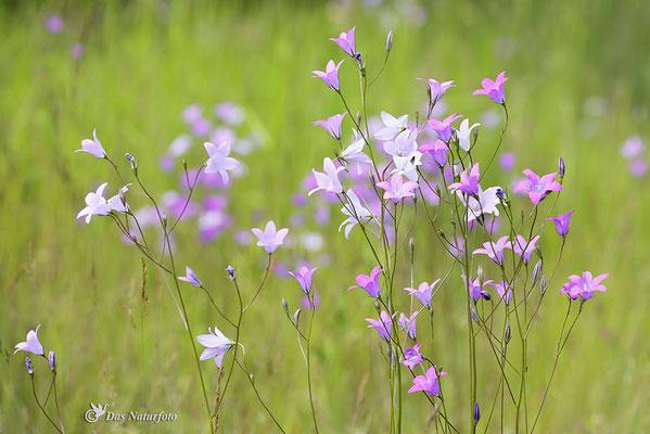 Wiesen-Glockenblume (Campanula patula) - Bild 001 - Foto: Regine Schadach