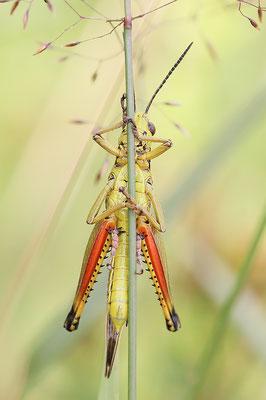 Sumpfschrecke (Stethophyma grossum) Männchen Bild 004 Foto: Regine Schadach