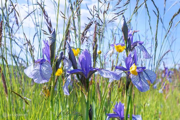 Sibirische Schwertlilie (Iris sibirica) - Bild 011 - Olympus OM-D E-M1 Mark II - M.ZUIKO DIGITAL ED 7-14mm 2.8 PRO