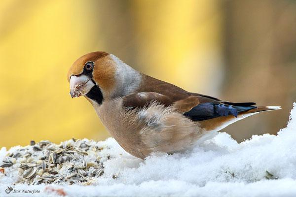Kernbeißer (Coccothraustes coccothraustes) an der Fütterung  - Bild 004 Foto: Regine Schadach