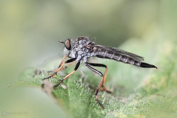 Garten-Raubfliege (Neomochtherus geniculatus) Bild 001 Foto: Regine Schadach - OM-D E-M5 Mark II - ED 60mm 1:2.8 Macro
