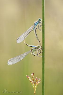 Große Pechlibelle (Ischnura elegans) Paarungsrad  Bild 022 Foto: Regine Schulz  - Canon EOS 5D Mark III Sigma 150mm f/2.8 Macro