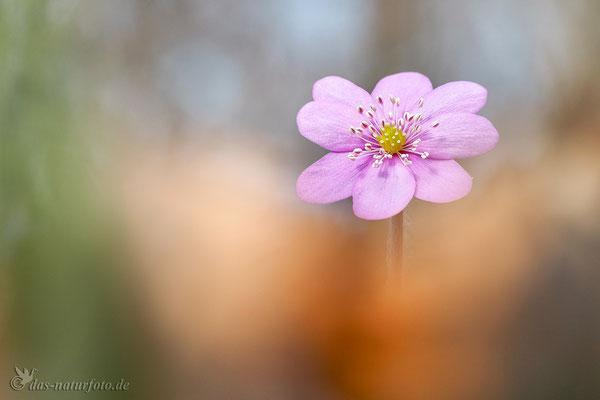 Leberblümchen (Hepatica nobilis) Bild 010 Foto: Regine Schadach - Olympus OM-D E-M5 Mark II - M.ZUIKO DIGITAL ED 60mm 1:2.8 Macro