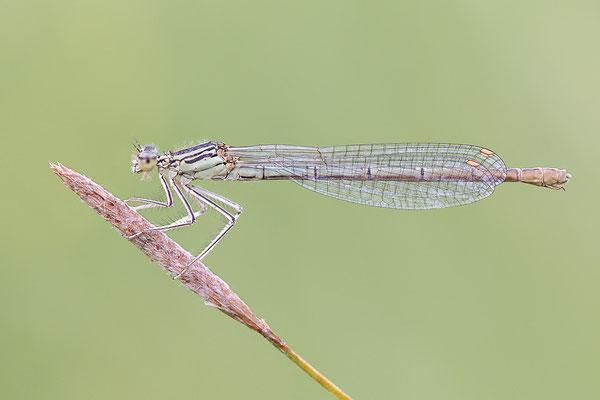 """Gemeine Federlibelle (Platycnemis pennipes) - Weibchen - auch """"Blaue Federlibelle"""" Bild 003 Foto: Regine Schadach"""
