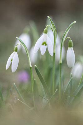 Kleines Schneeglöckchen (Galanthus nivalis), auch Gewöhnliches Schneeglöckchen - Bild 002 - Foto: Regine Schadach