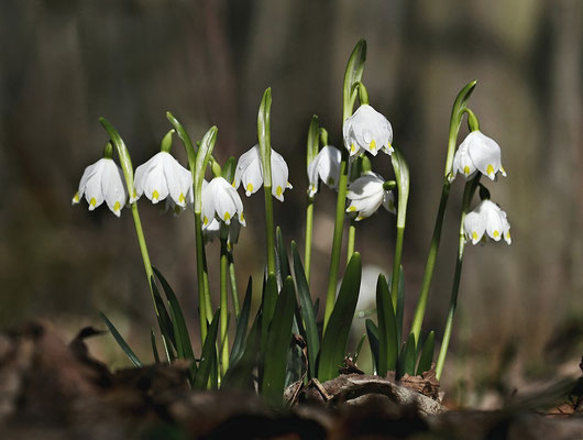 Frühlings-Knotenblume (Leucojum vernum) oder auch Märzenbecher genannt - Bild 001- Foto: Regine Schulz