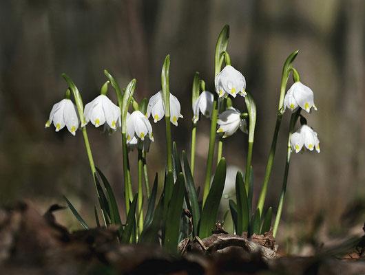 Frühlings-Knotenblume (Leucojum vernum) oder auch Märzenbecher genannt - Bild 001- Foto: Regine Schadach