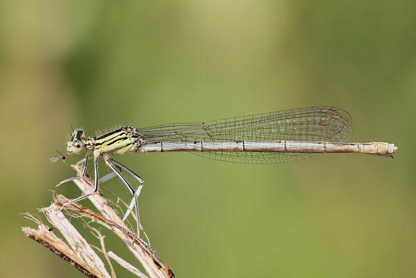 """Gemeine Federlibelle (Platycnemis pennipes) - auch """"Blaue Federlibelle"""" Bild 014 Foto: Regine Schadach"""