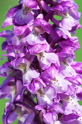 Stattliches Knabenkraut (Orchis mascula) - Bild 002 - Foto: Regine Schadach