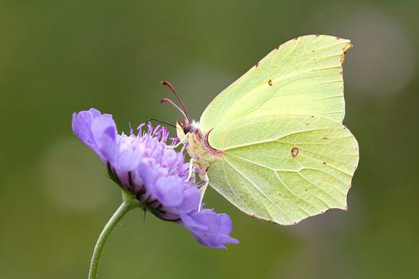 Zitronenfalter (Gonepteryx rhamni) Bild 003 Foto: Regine Schulz