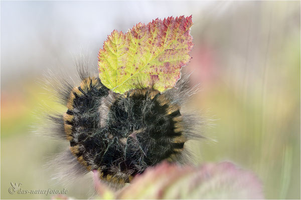 Brombeerspinner (Macrothylacia rubi)  Bild 003 Foto: Regine Schadach - Olympus OM-D E-M5 Mark II - M.ZUIKO DIGITAL ED 60mm 1:2.8 Macro