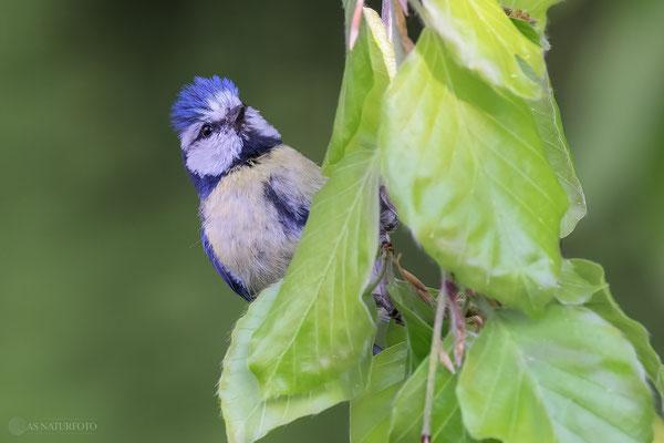 Blaumeise (Cyanistes caeruleus)  Bild 024 - Foto: Regine Schadach - Olympus OM-D E-M1 Mark III - M.ZUIKO DIGITAL ED 300mm F4.0 IS PRO