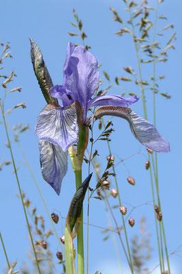 Sibirische Schwertlilie (Iris sibirica) Bild 002 Foto: Regine Schulz