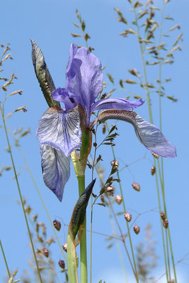Sibirische Schwertlilie (Iris sibirica) Bild 002 Foto: Regine Schadach
