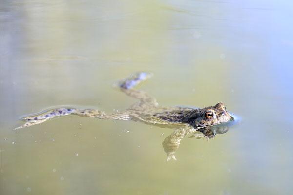 Erdkröte (Bufo bufo) Bild 003 Foto: Regine Schulz