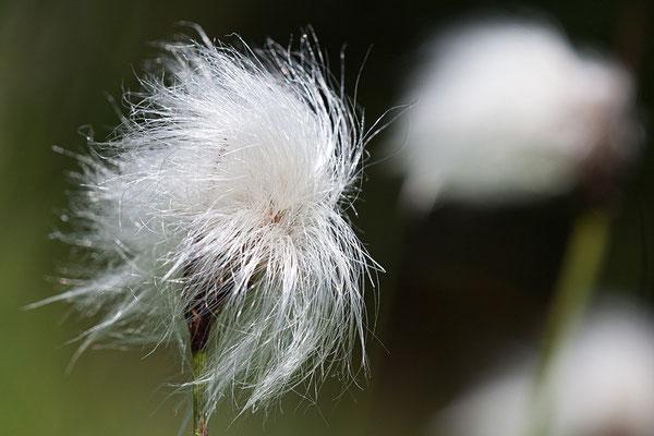 Schmalblättriges Wollgras (Eriophorum angustifolium) - Bild 004 - Foto: Regine Schadach