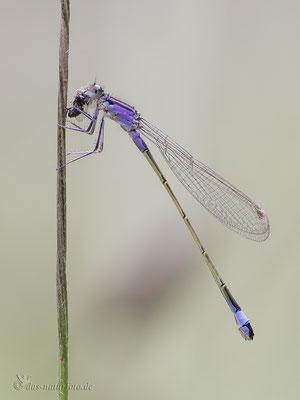 Große Pechlibelle (Ischnura elegans f. violacea) - Jugendform der Weibchen  fressend Bild 020 Foto: Regine Schadach  - Canon EOS 5D Mark III Sigma 150mm f/2.8 Macro