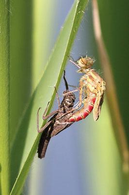 Frühe Adonislibelle (Pyrrhosoma nymphula) - Schlupf Bild 004 Foto: Regine Schulz