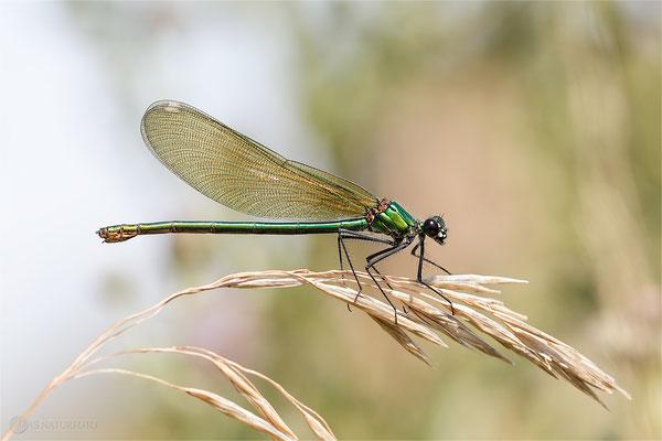 Gebänderte Prachtlibelle (Calopteryx splendens) Weibchen Bild 005  Foto: Regine Schadach - Canon EOS 5D Mark III Sigma 150mm f/2.8 Macro