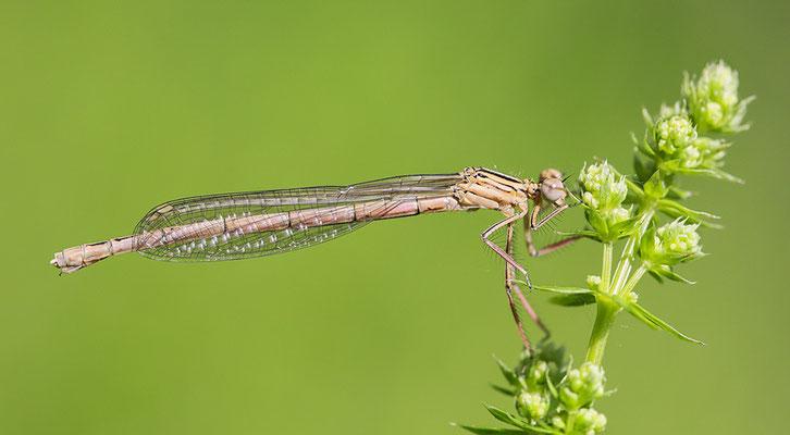"""Gemeine Federlibelle (Platycnemis pennipes) - auch """"Blaue Federlibelle"""" Bild 012 Foto: Regine Schadach"""