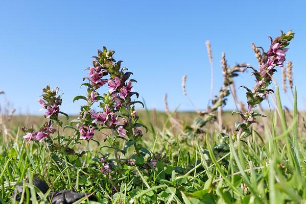 Salz-Zahntrost (Odontites litoralis) - Dänemark Westjütlandküste Bild 001 Foto: Regine Schadach
