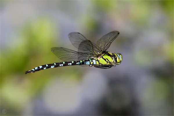 Blaugrüne Mosaikjungfer (Aeshna cyanea) - Bild 008 - Foto: Regine Schadach - Canon EOS 5D Mark III Sigma 150mm f/2.8 Macro