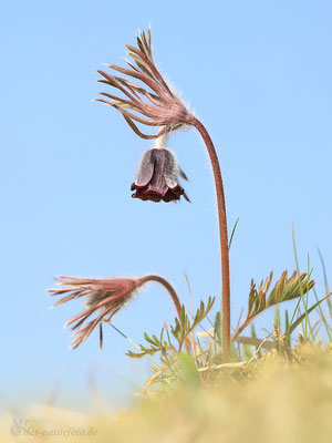 Dunkle Wiesen-Kuhschelle (Pulsatilla pratensis subsp. nigricans) Bild 005 Foto: Regine Schulz Canon EOS 5D Mark III Sigma 150mm f/2.8 Macro