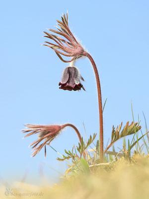 Dunkle Wiesen-Kuhschelle (Pulsatilla pratensis subsp. nigricans) Bild 005 Foto: Regine Schadach - Canon EOS 5D Mark III Sigma 150mm f/2.8 Macro