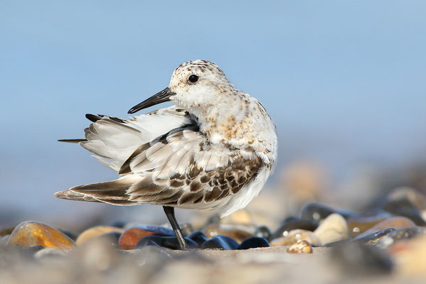 Sanderling (Calidris alba) - putzend Bild 004 Foto: Regine Schulz