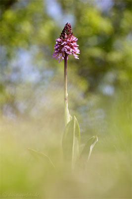 Purpur-Knabenkraut (Orchis purpurea)  Bild 012 Foto: Regine Schadach - Canon EOS 5D Mark III Sigma 150mm f/2.8 Macro