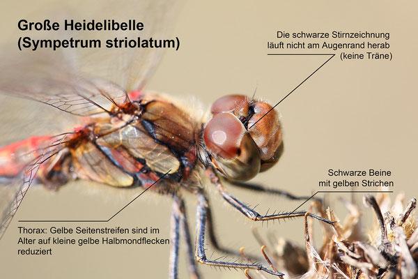 Große Heidelibelle (Sympetrum striolatum) junges Männchen Bild 007 Foto: Regine Schadach