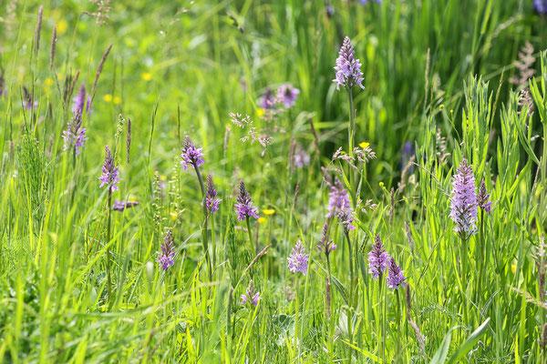 Fuchs Fingerwurz (Dactylorhiza fuchsii) Bild 000 Foto: Regine Schulz