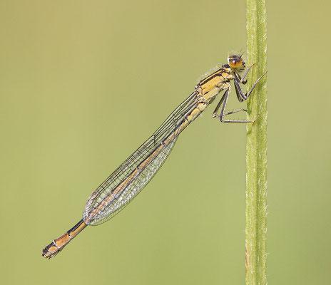 Große Pechlibelle (Ischnura elegans - f. infuscans-obsoleta) Bild 001 Foto: Regine Schulz