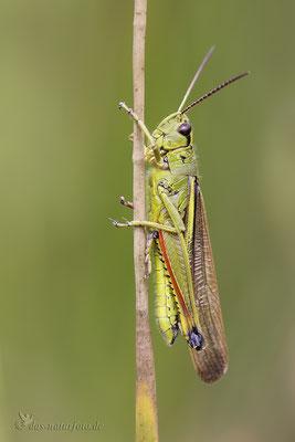 Sumpfschrecke (Stethophyma grossum) Männchen Bild 005 Foto: Regine Schulz  - Canon EOS 5D Mark III Sigma 150mm f/2.8 Macro