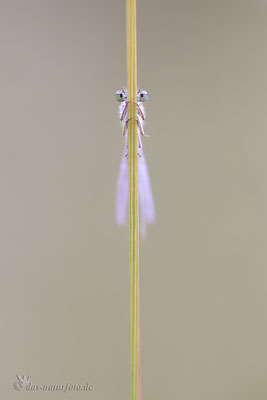 Große Pechlibelle (Ischnura elegans f. violacea) - Jugendform der Weibchen  Bild 023 Foto: Regine Schulz  - Canon EOS 5D Mark III Sigma 150mm f/2.8 Macro