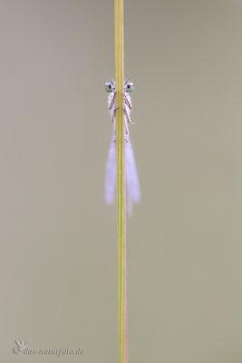 Große Pechlibelle (Ischnura elegans f. violacea) - Jugendform der Weibchen  Bild 023 Foto: Regine Schadach  - Canon EOS 5D Mark III Sigma 150mm f/2.8 Macro