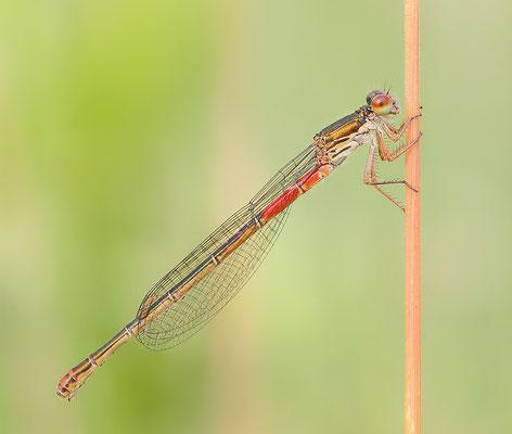 Späte Adonislibelle (Ceriagrion tenellum) auch Zarte Rubinjungfer oder Scharlachlibelle genannt Weibchen f. typica Foto: Regine Schadach