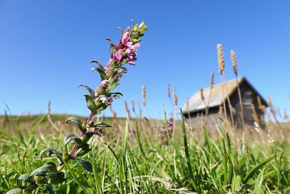 Salz-Zahntrost (Odontites litoralis) Dänemark Westjütlandküste Bild 003 Foto: Regine Schadach