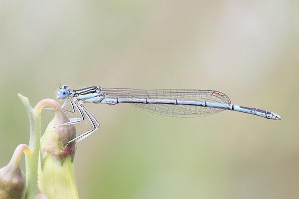 """Gemeine Federlibelle (Platycnemis pennipes)  Männchen - auch """"Blaue Federlibelle"""" Bild 022 Foto: Regine Schadach"""