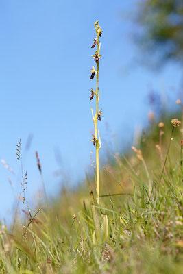 Fliegen-Ragwurz (Ophrys insectifera) Bild 001 Foto: Regine Schulz