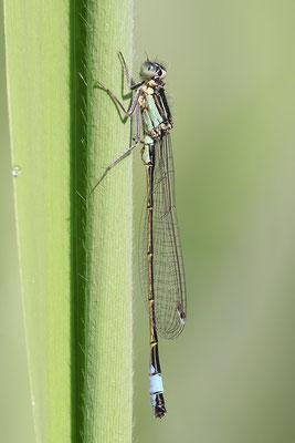 Große Pechlibelle (Ischnura elegans) - Männchen immaturus Bild 008 Foto: Regine Schadach
