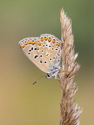 Hauhechel-Bläuling (Polyommatus icarus) - Bild 001 - Foto: Regine Schulz